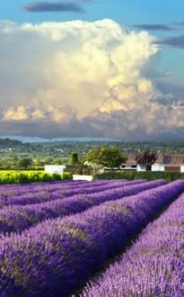 Lavender farm with cloudy sky