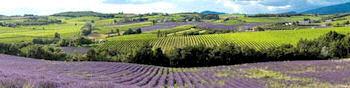 Rolling lavender fields