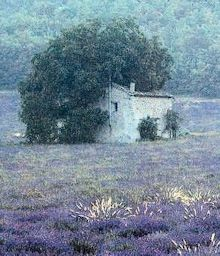 Stone cabin in lavender field, shielded with trees